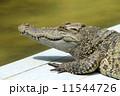爬虫類 動物 ワニの写真 11544726