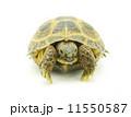 は虫類 ハ虫類 爬虫類の写真 11550587