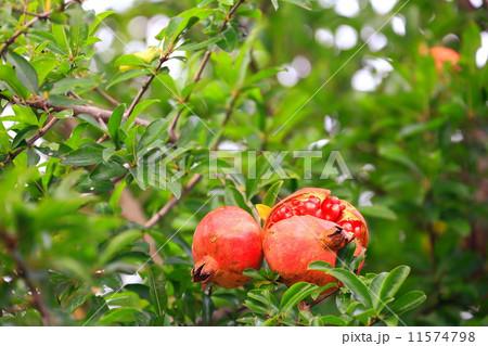 ザクロの赤い実が二つ熟すの写真...