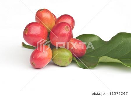 Ripe coffee beans .の写真素材 [11575247] - PIXTA