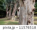 ユーカリの木 11576518