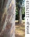 ユーカリの木 11576519