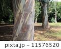 ユーカリの木 11576520