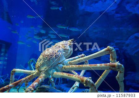 カニ 蟹 かに 魚 水族館 アクアリウム 水 海 生き物 海遊館 11587933