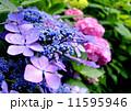 紫陽花 11595946