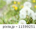 タンポポの綿毛 11599251