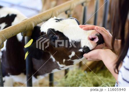 牛をなでなでする 11605940