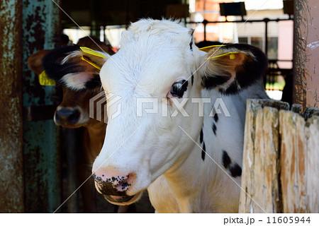 牛舎から顔を出す乳牛 11605944