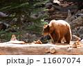 森林 羆 ブラウンの写真 11607074