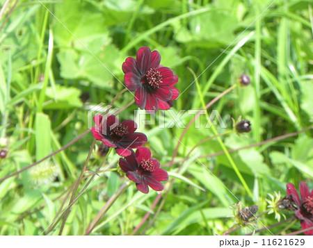 血の色のような赤い花はゲウム'ミセス ブラッドショウー 11621629