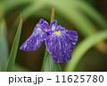 花菖蒲 海王星 かいおうせい 11625780