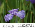花菖蒲 海王星 かいおうせい 11625781