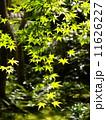 日差しに透ける青もみじ - 京都 11626227