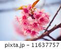 サクラ 桜 花の写真 11637757