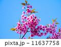 花 サクラ 桜の写真 11637758