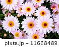 ピンクのガーベラ 11668489