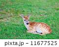 Deer fawn on grass 11677525