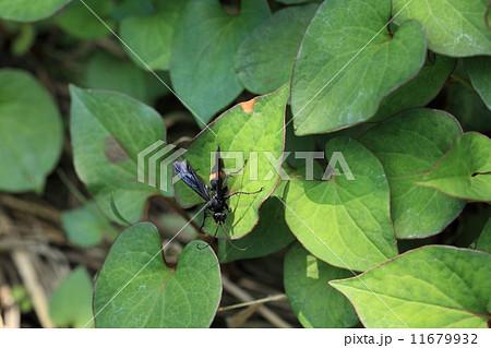 生き物 昆虫 オオモンクロクモバチ、このハチに限らず以前ベッコウバチと呼ばれていたハチがクモバチと呼ばれるようになっています 11679932