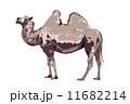 フタコブラクダ 11682214