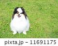 ポメラニアン 小型犬 洋犬の写真 11691175