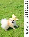 ポメラニアン 洋犬 小型犬の写真 11691181
