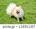 ポメラニアン 洋犬 小型犬の写真 11691187