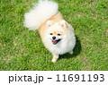 ポメラニアン 洋犬 小型犬の写真 11691193
