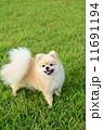 ポメラニアン 洋犬 小型犬の写真 11691194