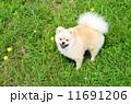 ポメラニアン 洋犬 小型犬の写真 11691206