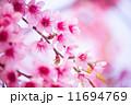 花 サクラ 桜の写真 11694769
