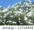 青空とキョウチクトウの白い花 11718848