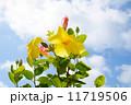 黄色い花 11719506