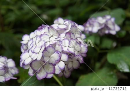 紫陽花 ジャパーニュ ミカコ 11725715