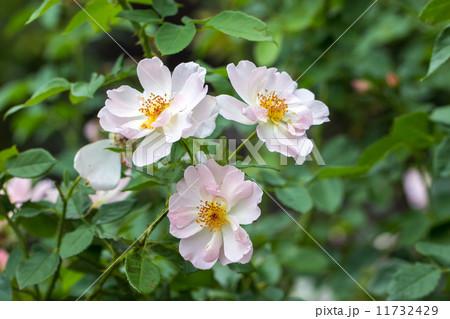 四季咲きのバラ(ピーチ・ブロッサム) 11732429