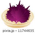 大葉 赤紫蘇 紫蘇の葉のイラスト 11744635