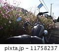 秋桜とアメリカンバイク 11758237