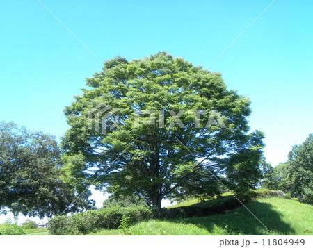 昭和の森のケヤキの大木 11804949