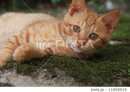 三毛猫 11808910