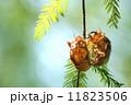 セミの抜け殻 蝉の抜け殻 蝉の写真 11823506