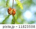 セミの抜け殻 蝉の抜け殻 蝉の写真 11823508