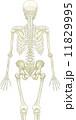 人体骨格(背面) 11829995