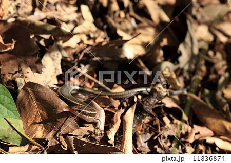 生き物 爬虫類 ヒガシニホントカゲ、立派な成体です。餌さがしでしょうか?舌を出しています 11836874