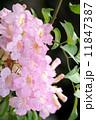のうぜんかずら ピンクノウゼンカズラ 花の写真 11847387
