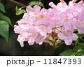 のうぜんかずら ピンクノウゼンカズラ 花の写真 11847393