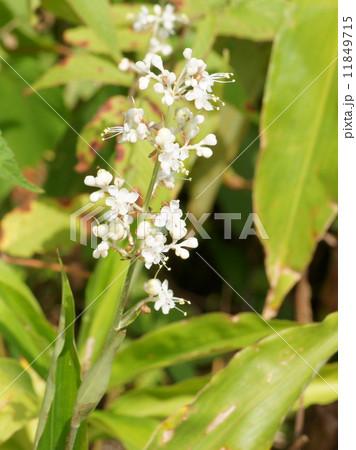ヤブミョウガの花(両性花) 11849715