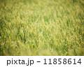 小麦畑 11858614