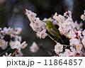 梅とメジロ 11864857