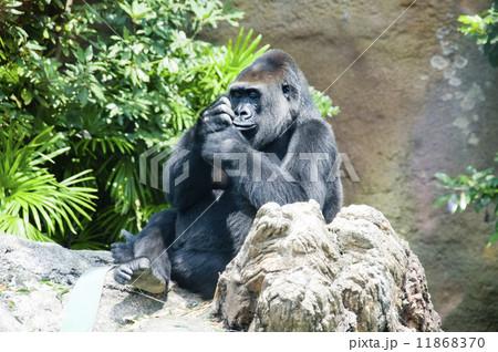 上野動物園 ゴリラ 11868370