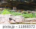 上野動物園 トラ 11868372