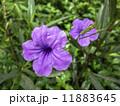 Ruellia Tuberosa Flowers. 11883645